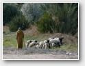 Le bon pasteur et ses brebis