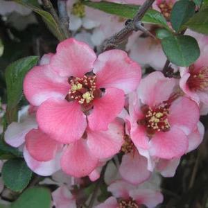fleurs Coree