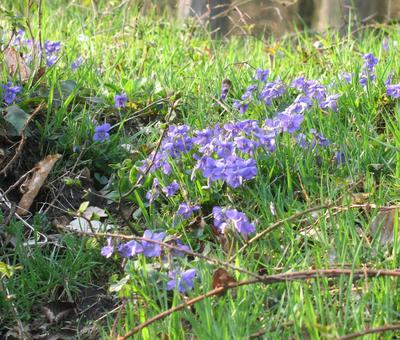 Violettes Forêt de St Amand à Odomez