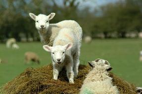 agneaux