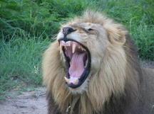 lion%20yawning