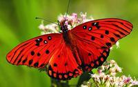 Papillon 02