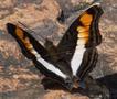 Papillon 03