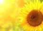 Fleur Soleil