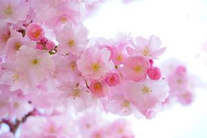 Cerisier du Japon Pixabay 2