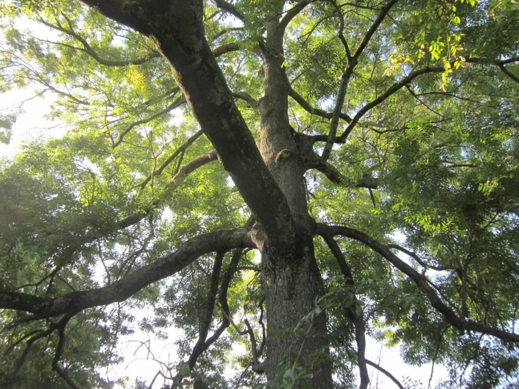 arbre a Verchain