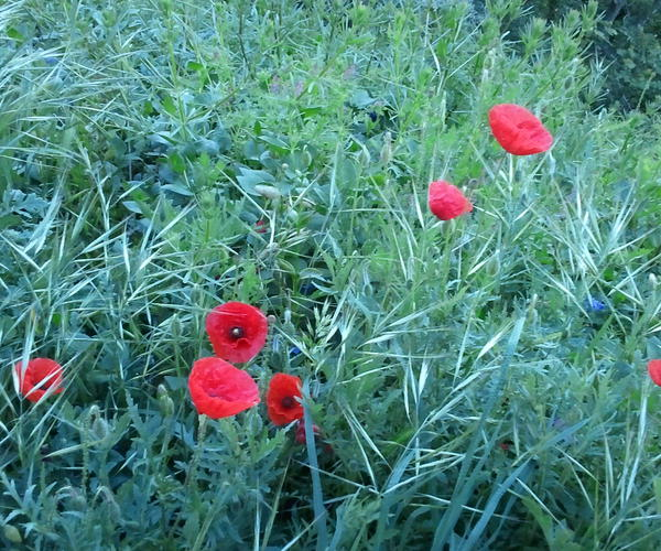 Coquelicots d'Assise !