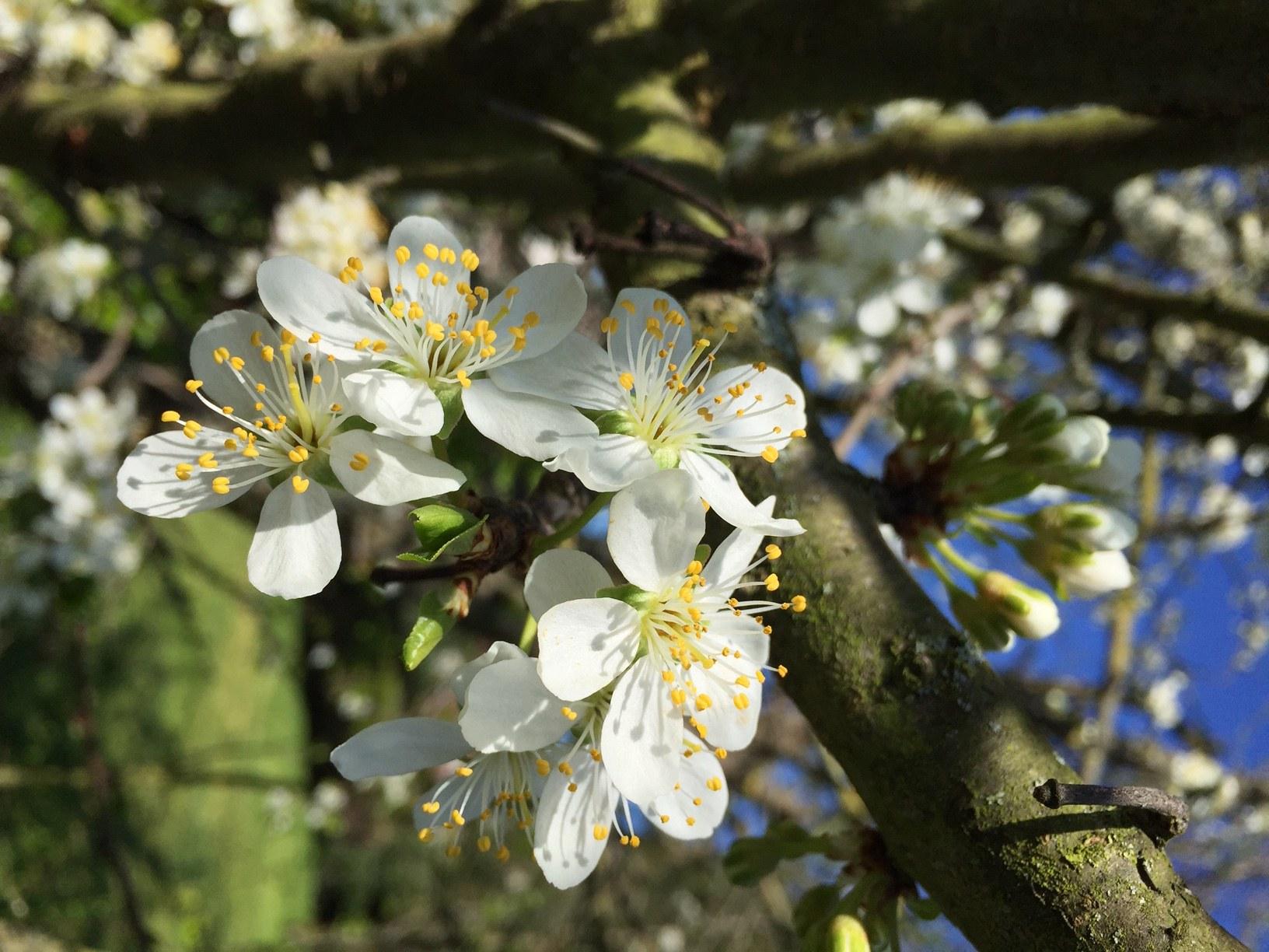 fleur cerisier cmr 2021