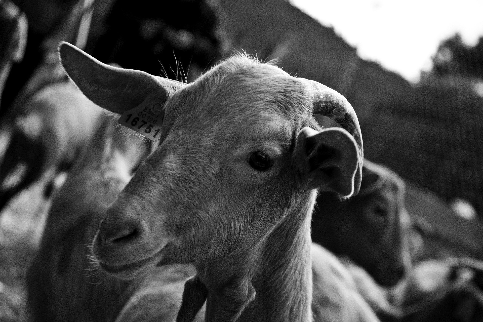 goat-3270268_1920