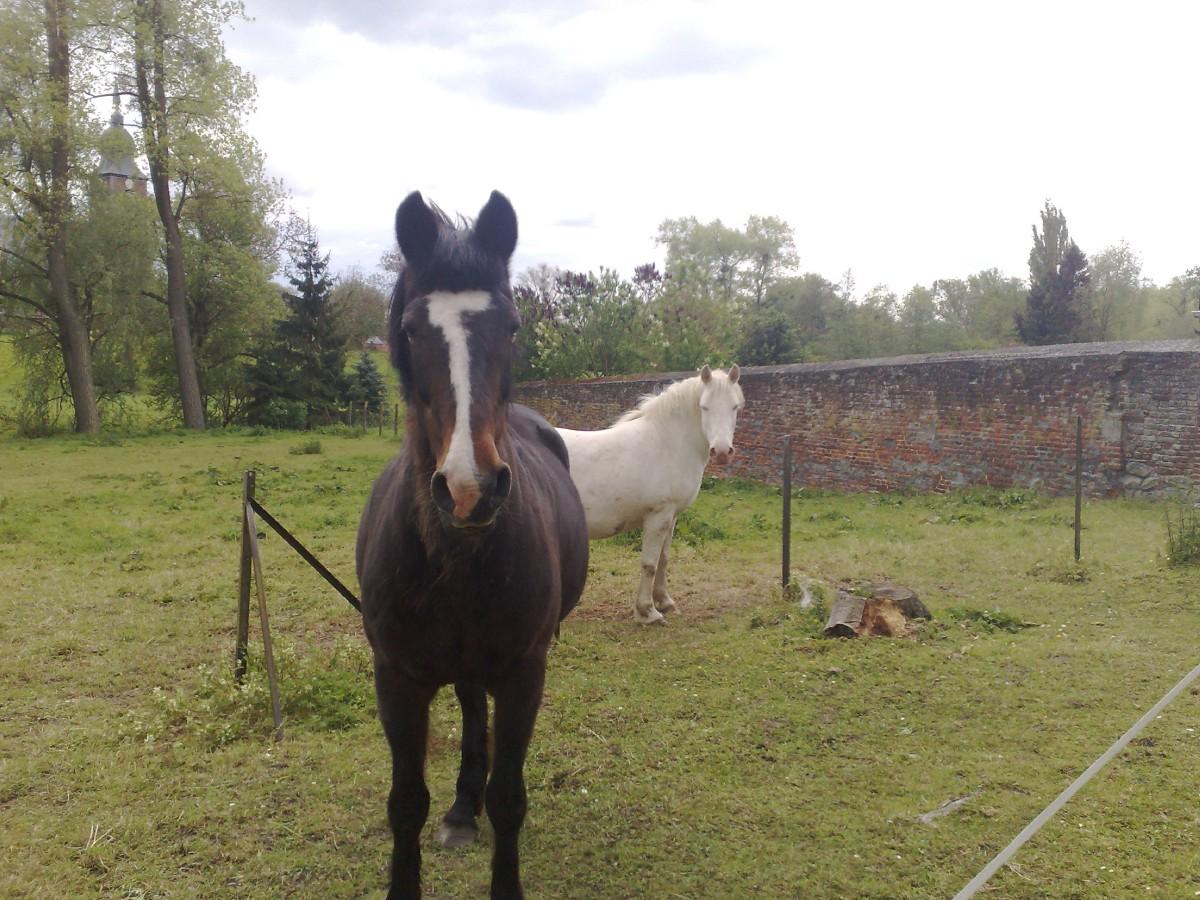HON (13) chevaux