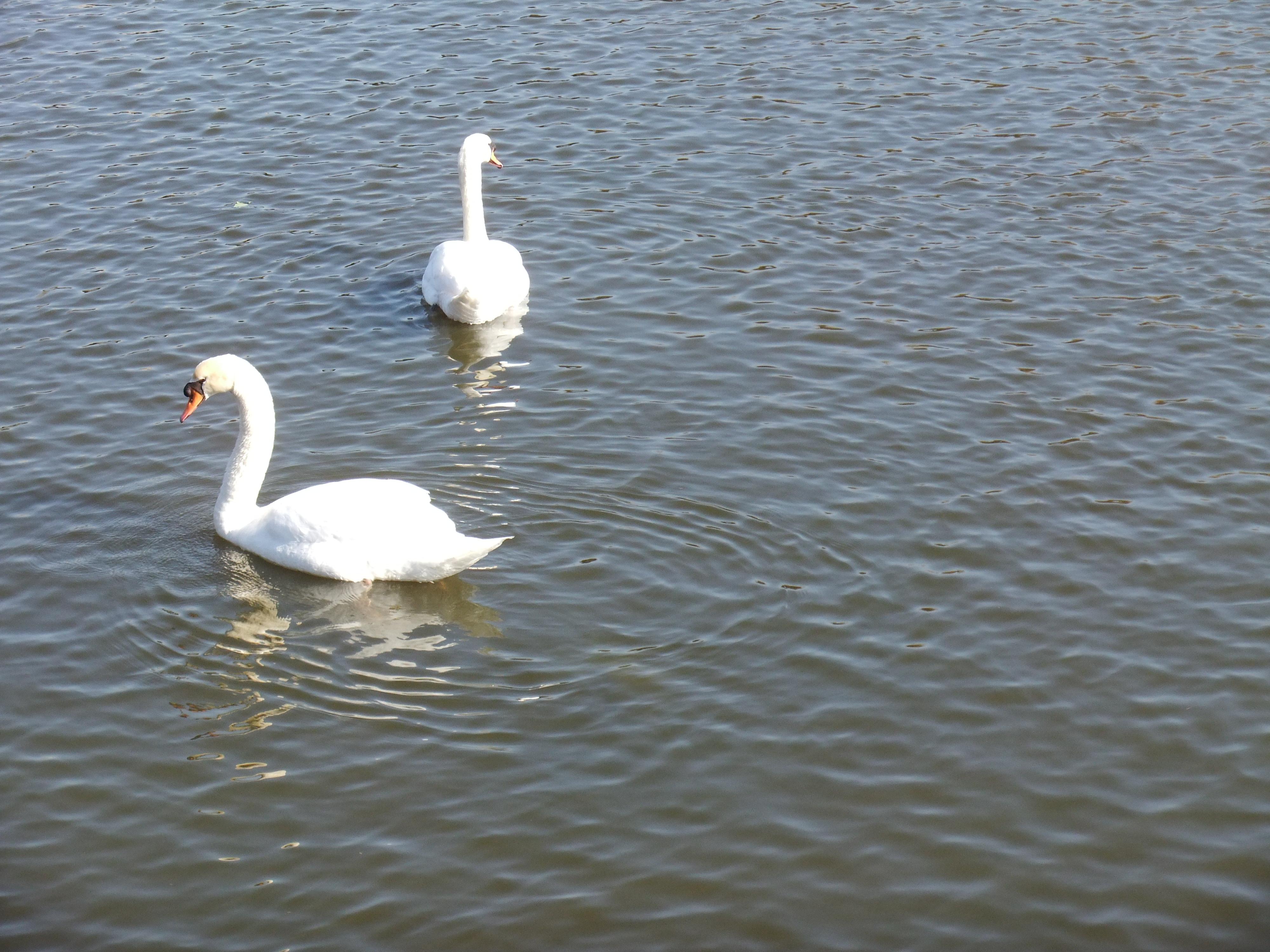 Sur l'eau... tout proches... deux cygnes glissent ...chacun de leur côté...